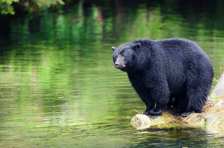 Black Bear Fishing in River, Coastal Rain Forest.  British Columbia, Canada 版權商用圖片 - 117847546