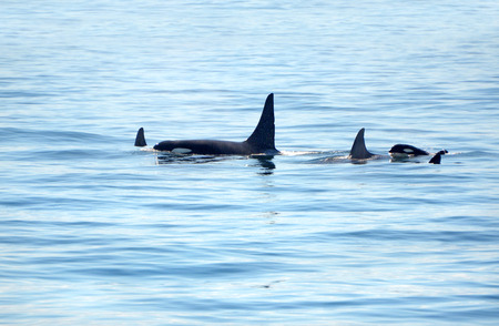 Pod of Orca Killer whale swimming, with a small baby calf whale following at the back, Victoria, Canada 写真素材