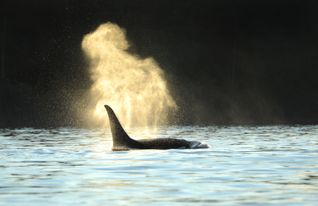 Orca Killer whale blowing with a dark backdrop. Evening silhouette