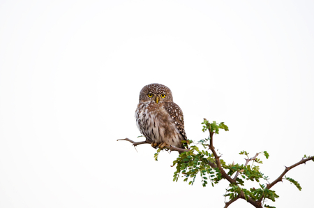 Pearl -spotted Owl, Kruger National Park, South Africa.  White Background