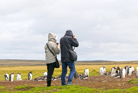 Unidentifiable Tourists taking Pictures at a Gentoo Penguin Colony.  Stanley, Falkland Islands. 스톡 콘텐츠
