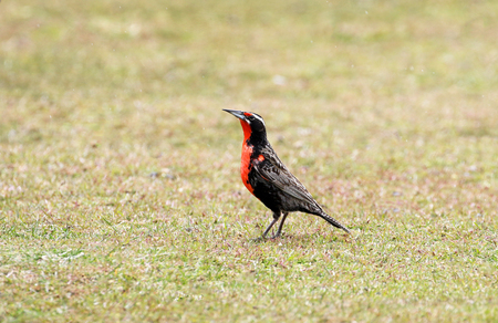 Long-tailed Meadowlark (Sturnella loyca falklandica) in Stanley,  the Falkland Islands. 写真素材