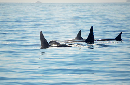 Pod of Orca Killer whales with a calf, blowing and swimming in blue Ocean, Victoria, Canada