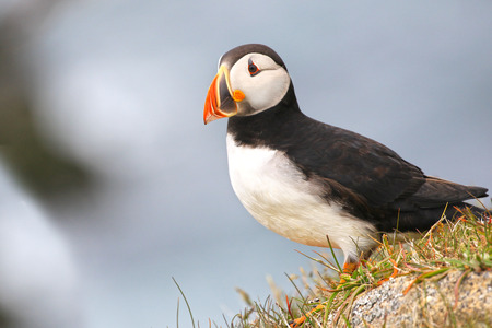 Atlantic Puffin standing on a rock, from Newfoundland, Canada. 写真素材