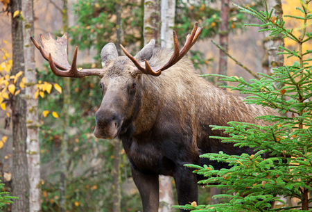 Male Bull Moose with Big Antlers, Standing in a Forest.  Alaska, USA