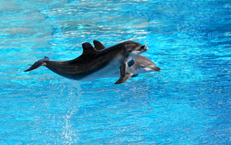 Bottle nosed dolphin performing jumps, blue water background 写真素材