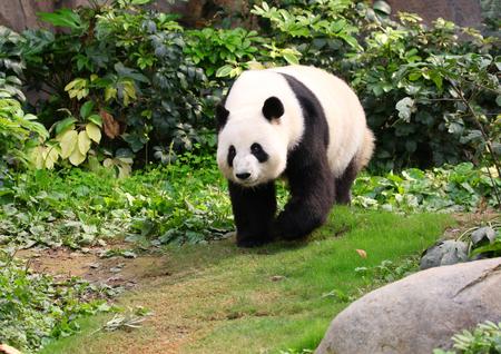 A Giant Panda walking around, Chengdu,  China 版權商用圖片