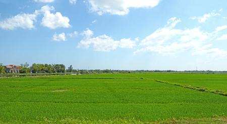 Lush Green Rice fields in Da Nang. Vietnam. South Asia Rice Bowl region.