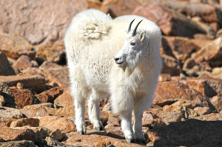 Mountain Goat in Yellowstone National Park, Wyoming. USA