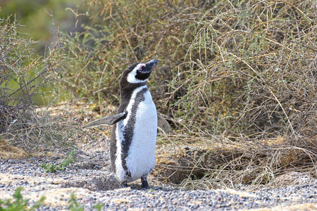Magellanic Penguin at PuntaTombo Reserve, Argentina. One of the largest Penguin Colony in the world, Patagonia Reklamní fotografie - 119274368