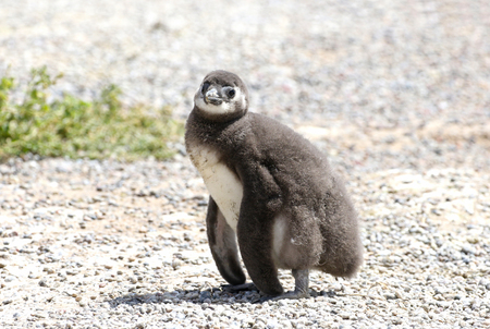 Magellanic Penguin Chicks at Punta Tombo, Argentina. One of the largest Colony in the world, Patagonia.