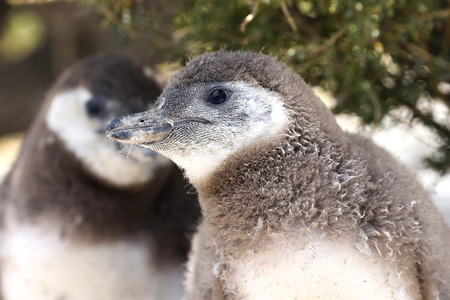 Face of Magellanic Penguin Chicks at Punta Tombo, Argentina. One of the largest Colony in the world, Patagonia.