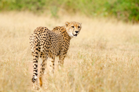 Cheetah Walking in a South Africa Savannah, Kruger National Park Stock Photo