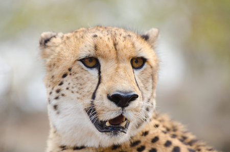 Cheetah Face Portrait, in a  South Africa Savannah, Kruger National Park 写真素材