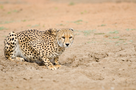 Cheetah Hunting in a South Africa Savannah, Kruger National Park