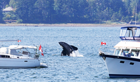 Orca Killer Whale Breaching between two Pleasure boats, close to shore.  Vancouver Island, Canada 写真素材
