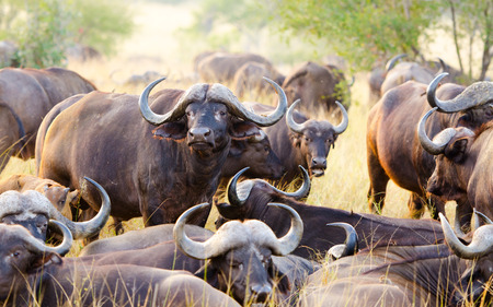 A Herd of Cape Buffalo grazing together.  Kruger National Park, South Africa. 写真素材