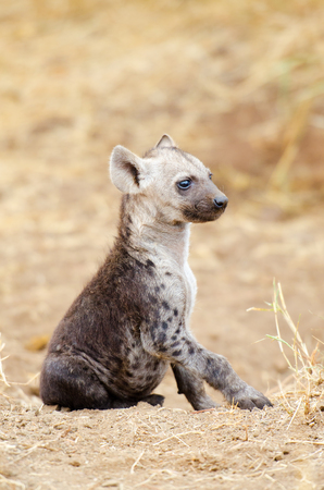 A Young Spotted Hyena sitting pose, Kruger National Park, South Africa