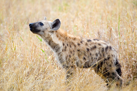Spotted Hyena Sensing the Air, Kruger National Park, South Africa