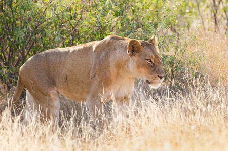 Lioness Hunting in Tall Grass, Kruger National Park. South Africa