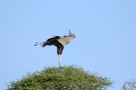 Secretary Bird standing on an African Acacia Tree, Kruger National Park, South Africa