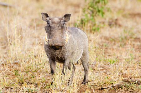 Warthog Looking at the Camera, Kruger National Park, South Africa Stock Photo