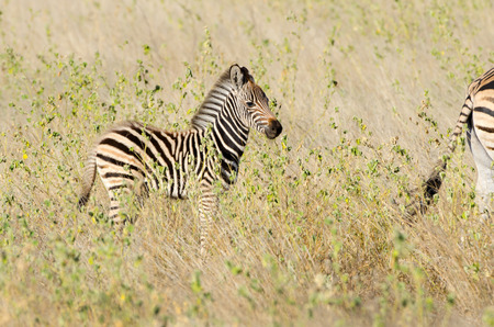 Burchell's Zebra Foal walking in Tall grass, Kruger National Park, South Africa.