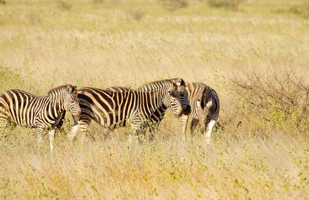 Burchells Zebra grazing, Kruger National Park, South Africa
