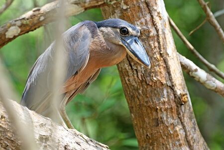 Boat-billed Heron Hiding in a Costa Rica Mangrove Forest Stock fotó
