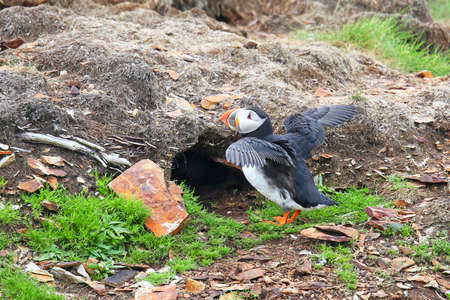 Atlantic Puffin Stretching its Wings at the entrance of its nesting burrow.  Newfoundland, Canada
