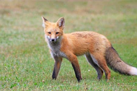 Red Fox Posing in a Grass Meadow, Prince Edward Island , Canada Zdjęcie Seryjne