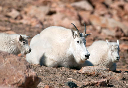 Mountain Goat Family resting at Yellowstone National Park, Wyoming. USA