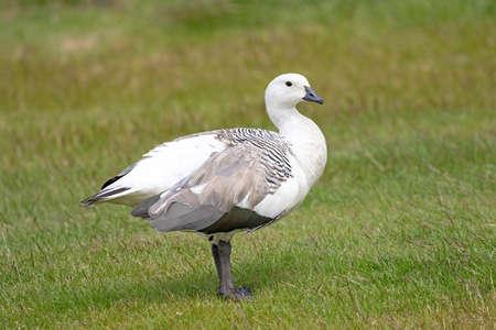 Male Upland Goose or Greater Magellan Goose - Chloephaga picta leucoptera.  Falklands Island