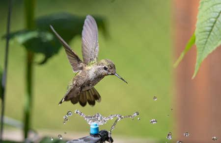 Annas Hummingbird hovering over a micro sprinkler, having a shower. Zdjęcie Seryjne