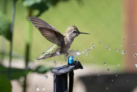 Annas Hummingbird bathing over a micro sprinkler, having a shower. Zdjęcie Seryjne