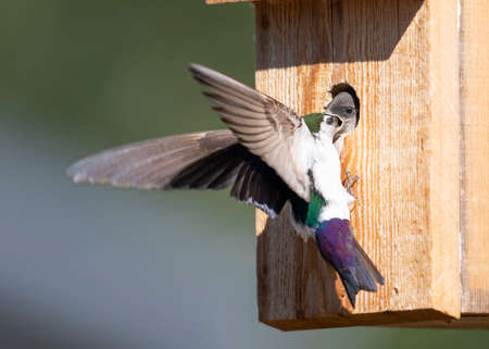Violet-green Swallow baby in bird box, parent in flight delivering food.  Main focus on baby, parent has motion blur.