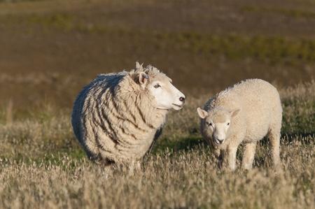 cute little lambs on fresh green meadow photo