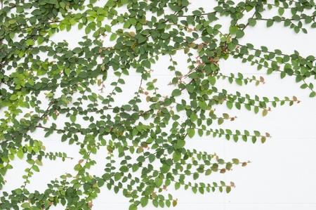 yedra: Planta verde agr�colas sobre muro de hormig�n