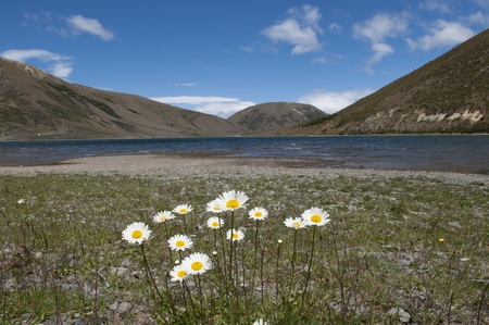 Mountain landscape at Lake pearson with daisy flowers, New Zealand photo
