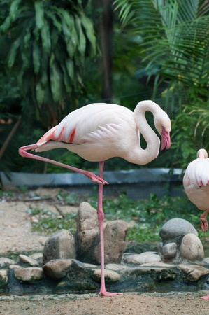 Flamingo in one leg standing photo