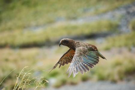 parrot flying: Kea, New Zealand native bird