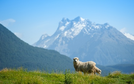 Sheep looking to camera with snow mouintain in background Stock Photo - 12991905