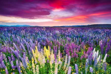 spring landscape: Sunset is in the flower field Stock Photo