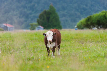 calf cow: Single brown cow looking to camera