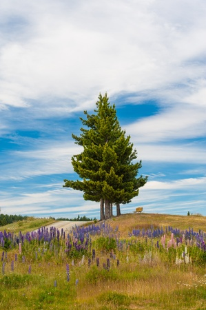 Single pine and beautiful Russell Lupins flowers at New Zealand photo