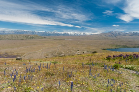 Aerial view of beautiful flower field at Lake Tekapo, New Zealand photo