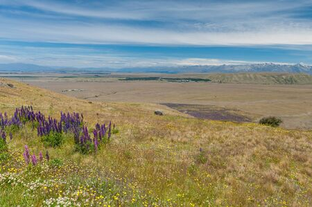Aerial view of beautiful flower field at Lake Tekapo, New Zealand photo