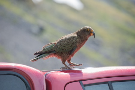 native bird: Kea, Nueva Zelanda aves nativas