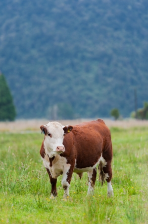 holstein cow: Single brown cow looking to camera