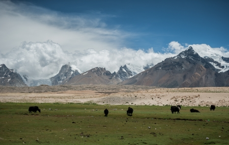 Cattle and Himalayas range at Tibet